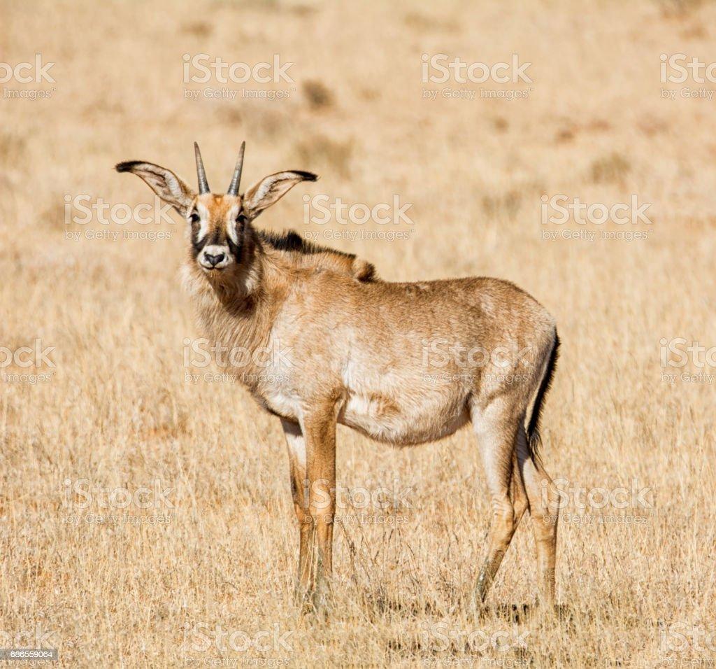 Roan Antelope zbiór zdjęć royalty-free