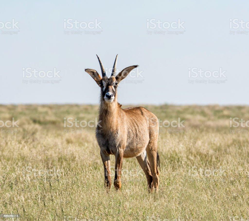 Roan Antelope royalty-free stock photo