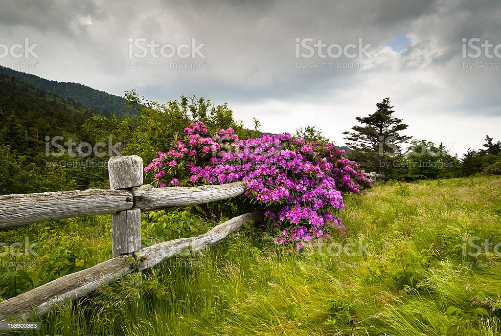 Roan Mountain State Park Carvers Gap Rhododendron Flower Blooms Nature royalty-free stock photo