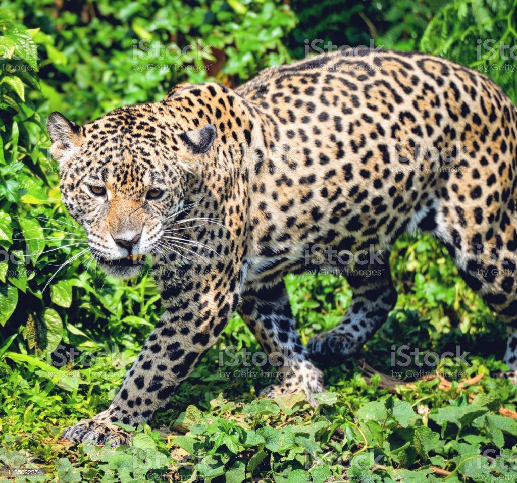 Roar tiger leopard jaguar animal wildlife hunting / beautiful jaguar...