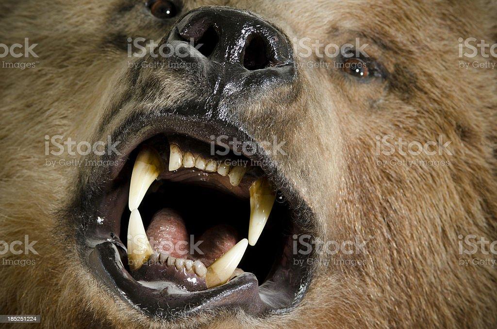 Roaring Bear Close-up stock photo