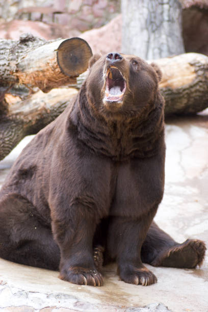 Roaring bear stock photo
