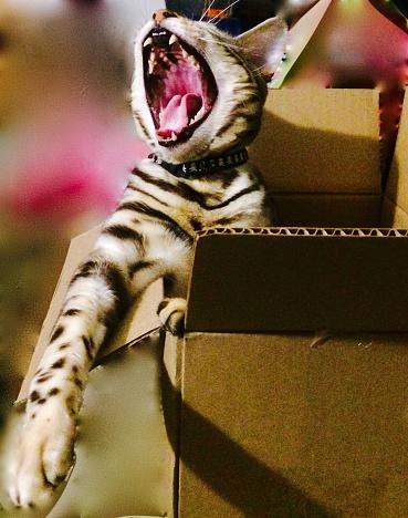 Mèo Bengal gầm