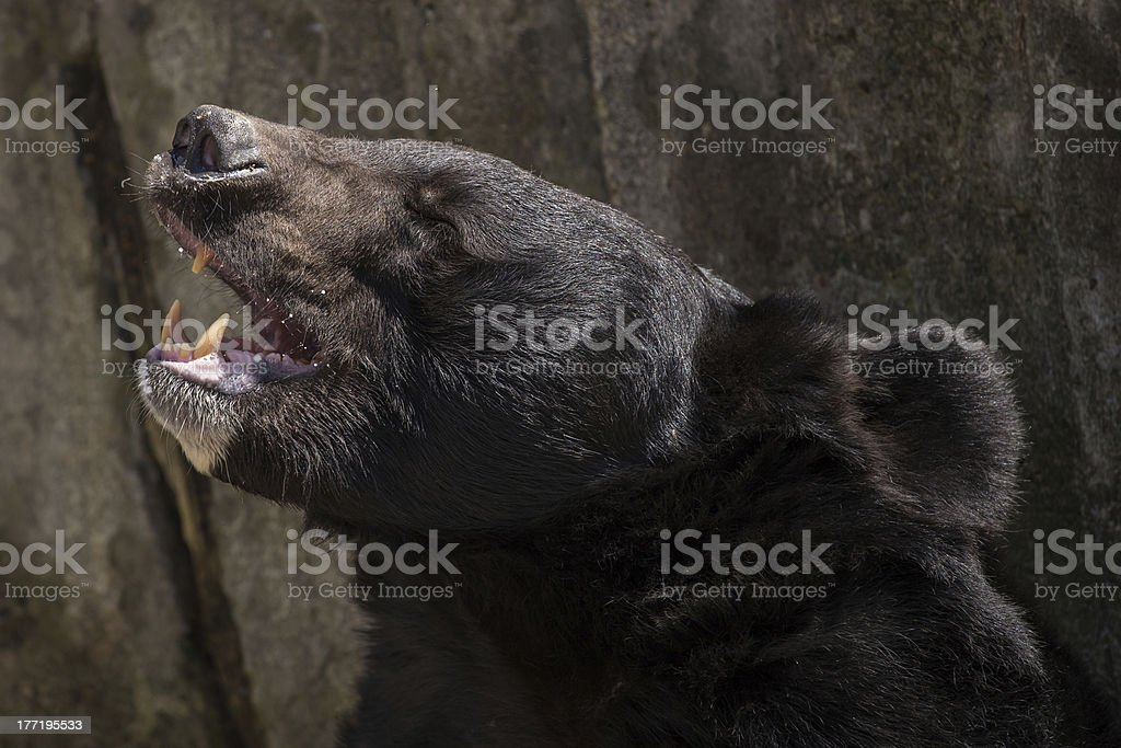 Roaring black bear stock photo