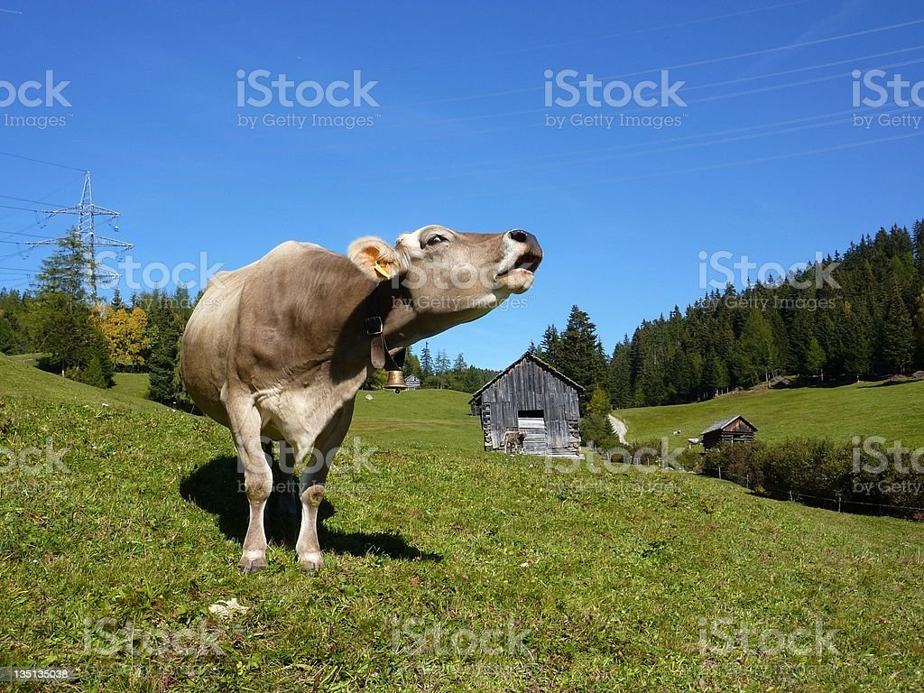 Roaring cow royalty-free stock photo