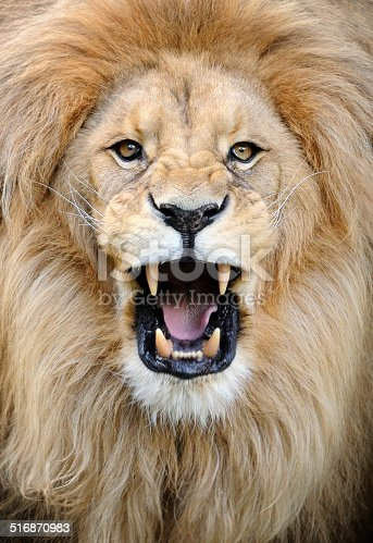close-up of a roaring male lion