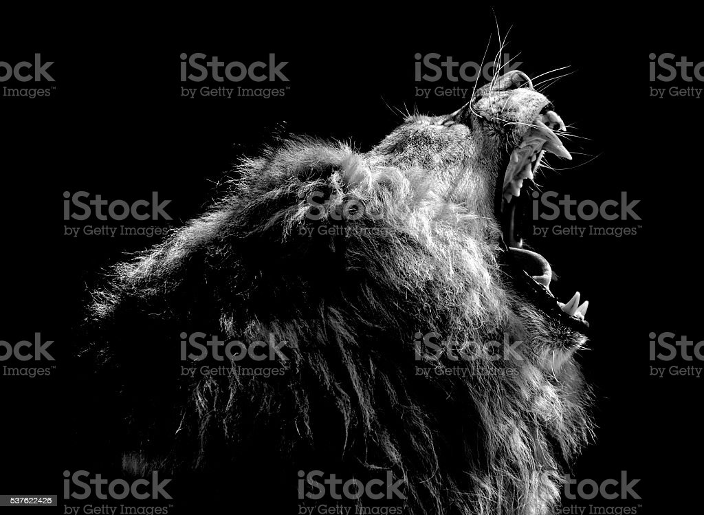 Lion rugissant - Photo