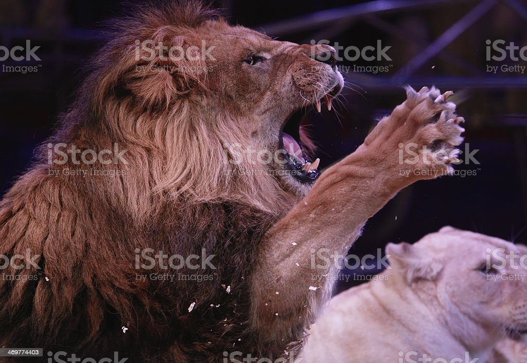 Roaring male lion stock photo