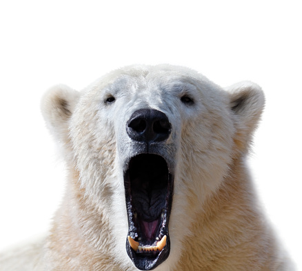 close-up of a polar bear with wide-opened mouth