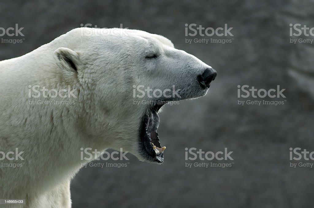 Roaring Polar bear (Ursus maritimus) stock photo