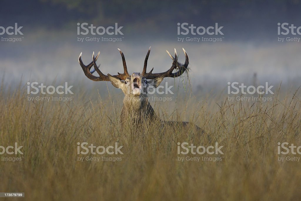 Roaring red deer stag bellows during the rut stock photo