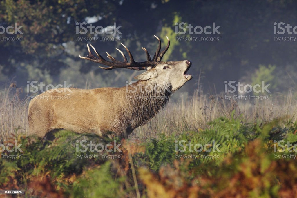 Red deer stag bellowing roaring bugling stock photo
