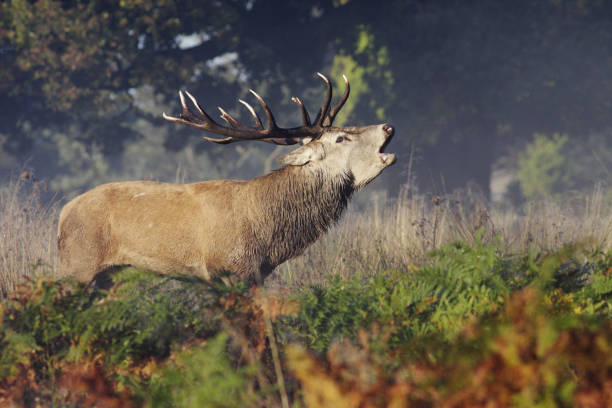 red deer stag bellowing roaring bugling - whiteway deer stock photos and pictures