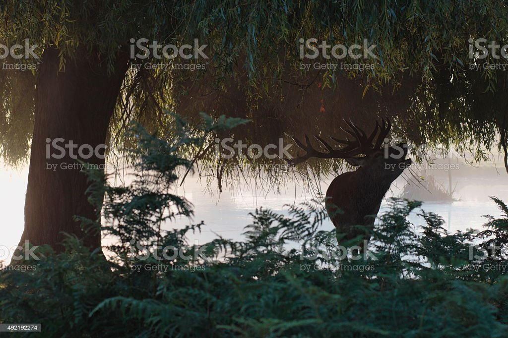 Stag roaring beneath willow tree beside river stock photo