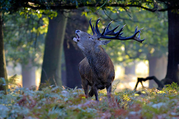 red deer stag roaring in woodland - whiteway deer stock photos and pictures