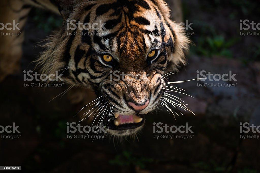 Roaring Sumatran Tiger in the Morning Light. stock photo