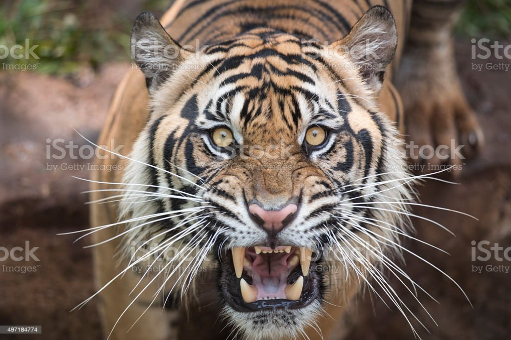 Roaring Tiger stock photo