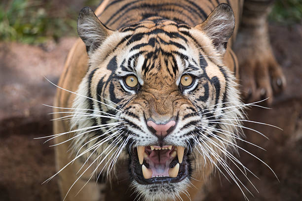 roaring tiger - tiger stock photos and pictures