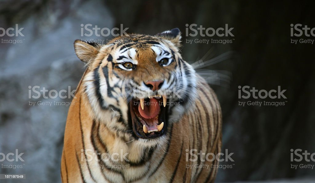 Roaring tiger with motion blur stock photo