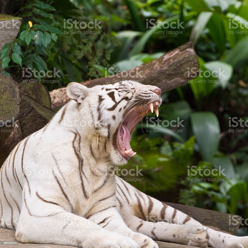 roaring white tiger stock photo & more pictures of anger | istock