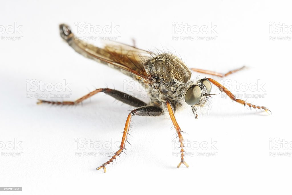 Robber fly 04 stock photo