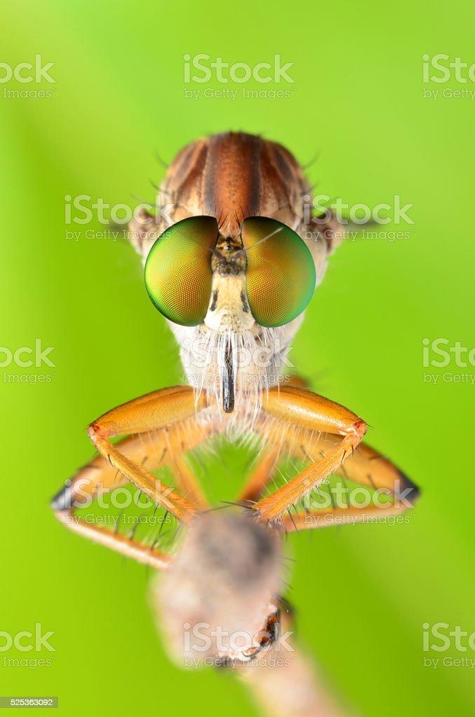 Robber fly, Asilidae stock photo