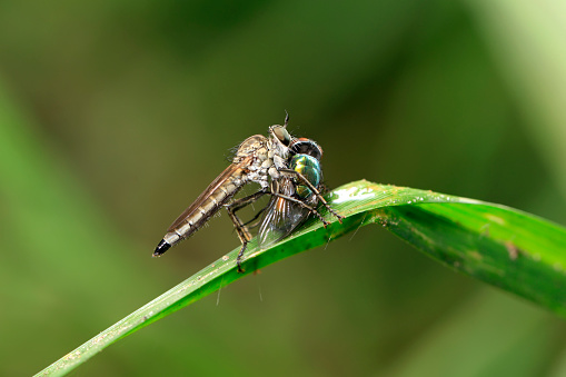 robber fly, assassin fly. A close-up