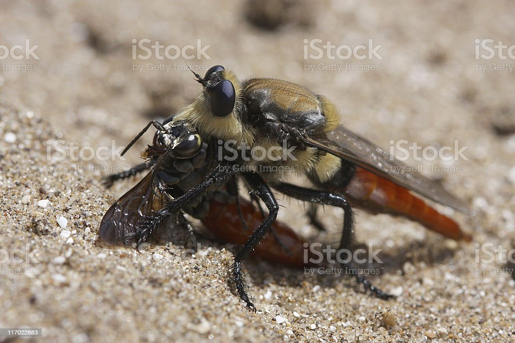 Robber Fly Devouring a Wasp stock photo