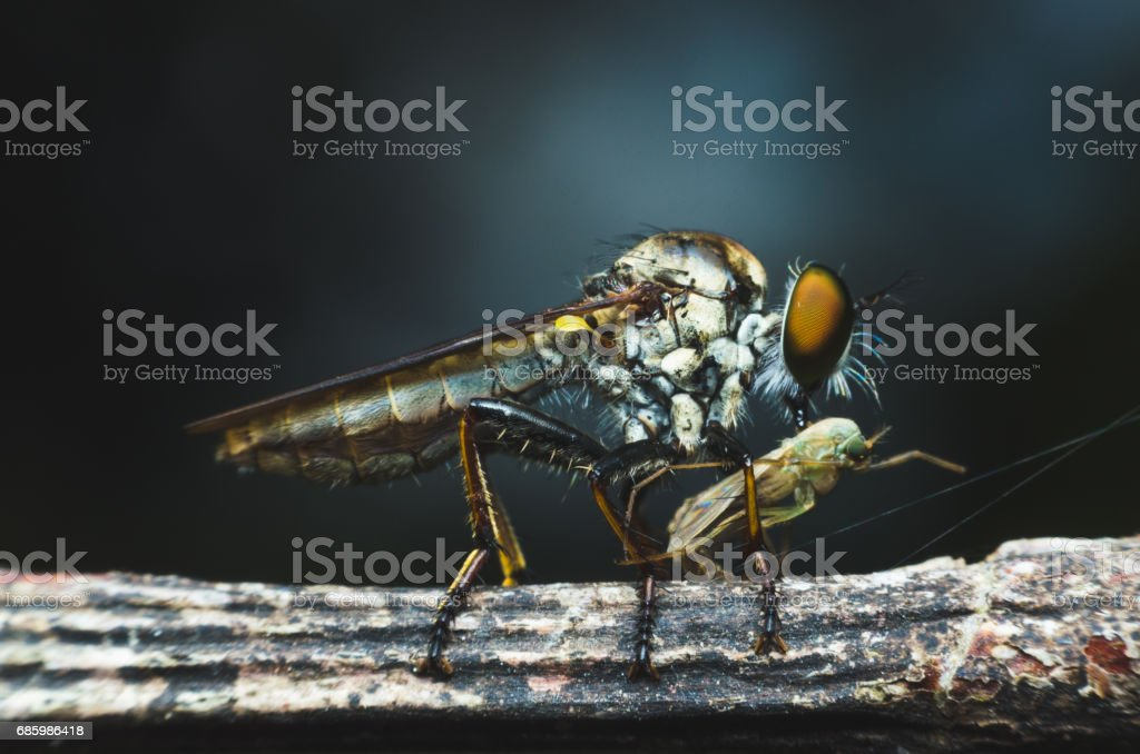 robber fly eating on tree branch. stock photo