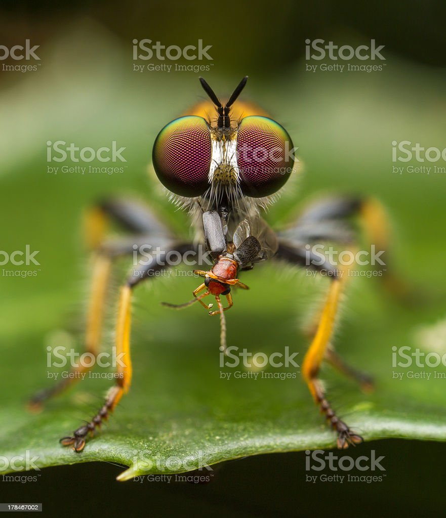 Robber Fly eats little Beetle on leaf stock photo