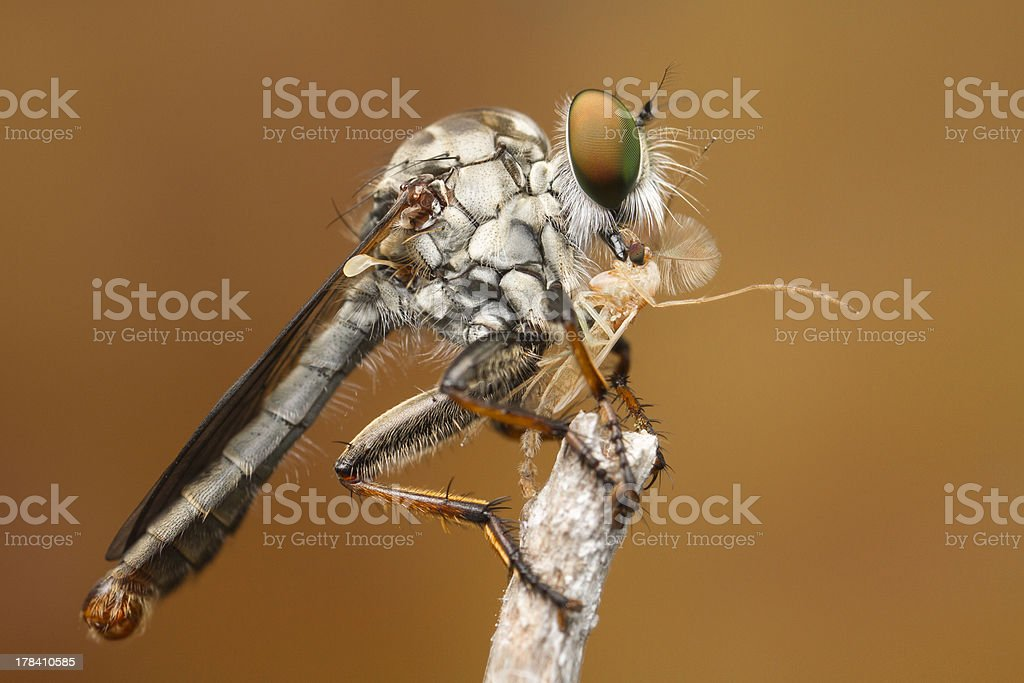 Robber Fly eats little gnat on stick stock photo