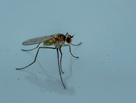 A large, bristly fly at rest.