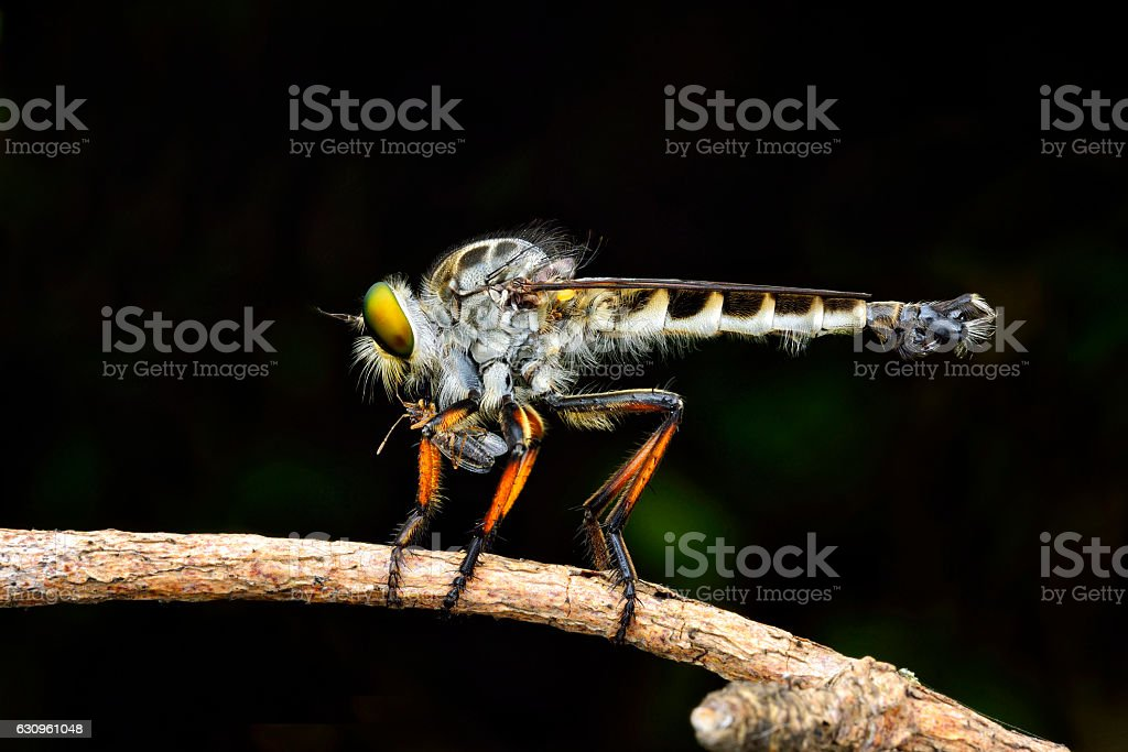 Robber fly on branch stock photo