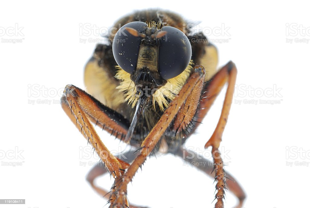 robber fly royalty-free stock photo