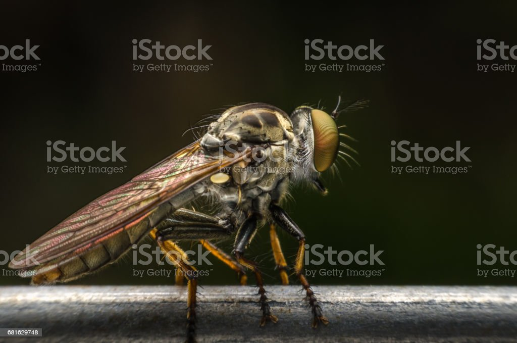 Robber fly. stock photo