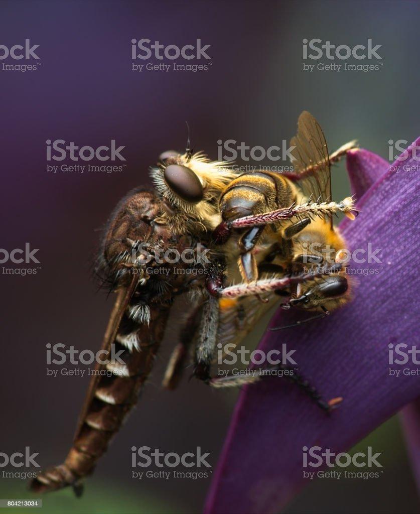 Robber Fly Preys on Honey Bee stock photo