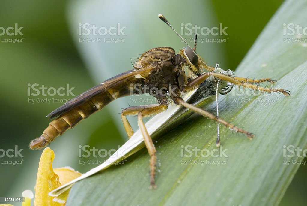 Robber fly with cabbage butterfly stock photo