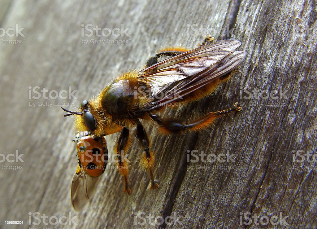 Robber fly with ladybird stock photo