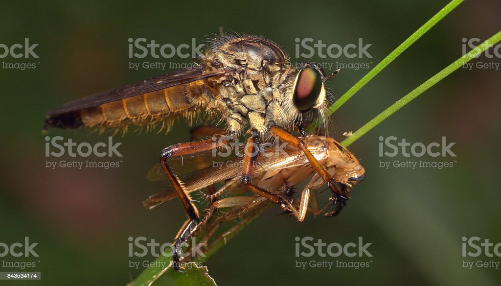robber fly with prey stock photo