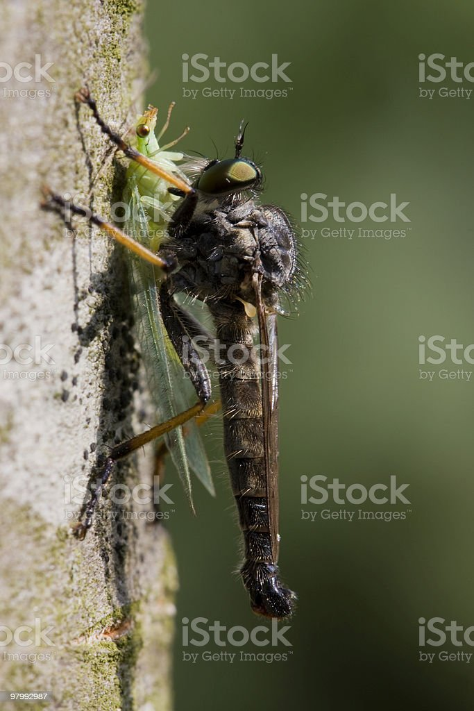 Robber fly with prey royalty-free stock photo