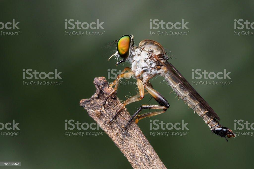 Robberfly stock photo