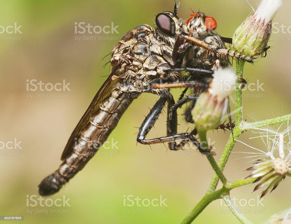 Robberfly with Prey stock photo