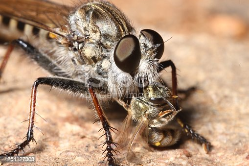 A moustached Robber Fly (aka, Assassin Fly) feasting on a golden metallic sweat bee in Southern California