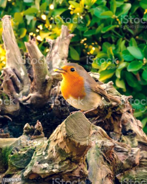 Photo of A robin among the branches of a tree