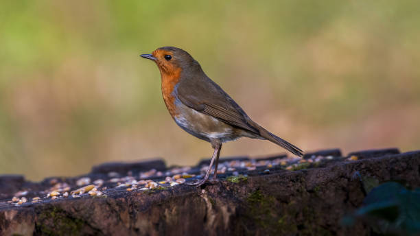 Robin at the Saltwells Local Nature Reserve. stock photo