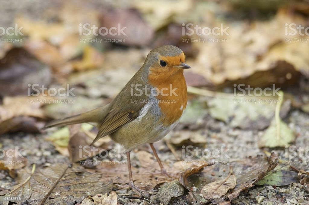 Robin at Titchwell Nature Reserve Norfolk UK royalty-free stock photo