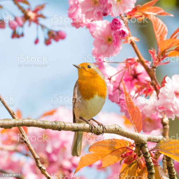 Photo of Robin, bird on a cherry tree