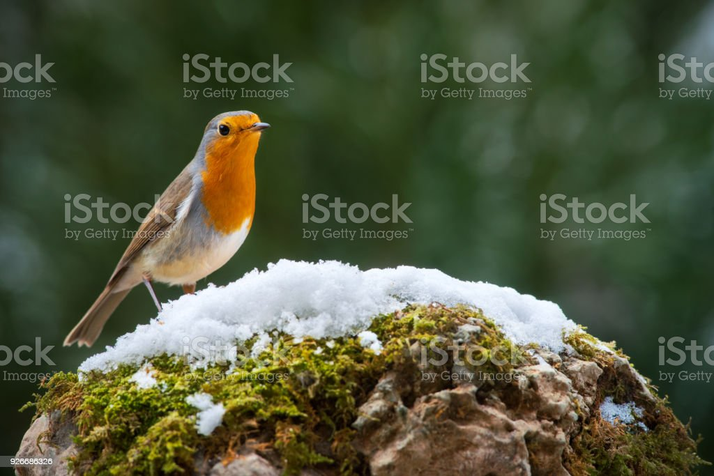 Robin bird on the snow stock photo