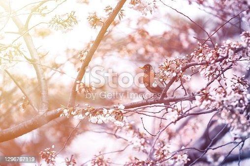 istock Robin bird 1296767119