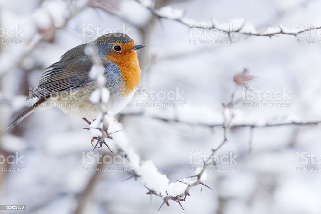 Robin Christmas Card Scene Stock Photo & More Pictures of Animal ...